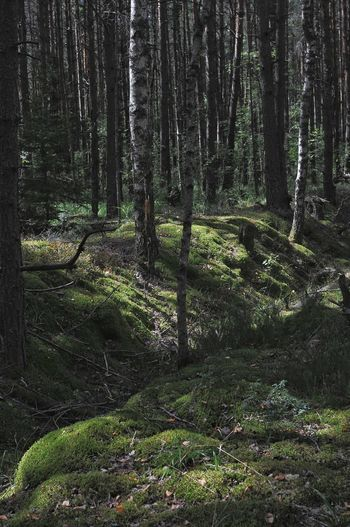 Tree Forest Tree Trunk Grass Woods Green WoodLand