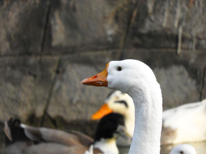 Goose Neck Animal Neck Beak Looking Lake Indian Bird Beak Close-up Water Bird Freshwater Bird Feather  Geese Gosling Duck