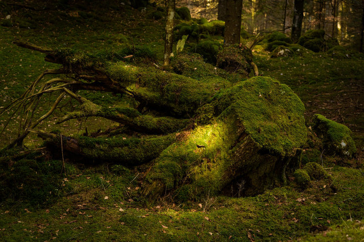 Erve Erve Miozzo Photo Miozzo Growth Tranquility Landscape Day WoodLand Environment Land Grass Trunk No People Nature Green Color Plant Tree Moss Animal Wildlife Beauty In Nature Forest Tree Trunk Outdoors Rainforest