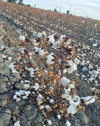 Algodón en el valle Mexicali Baja California Cotton Nature Land Day No People Winter Beauty In Nature