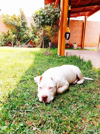 T h o r Heterochromia Heterochromia Dog Babydog Pitbull Stanford Pets Dog Relaxation Lying Down Sleeping Grass Pet Bed Canine