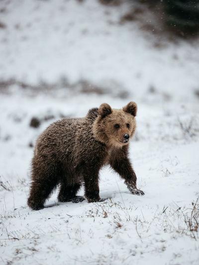 Brown bear cub  portrait in the wilderness forest.winter season.