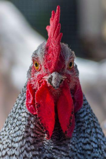 Plymouth Rock barrée Chicken - Bird Domestic Animals Pets Animal Themes Livestock Male Animal Close-up Chicken Animal Head  Bird