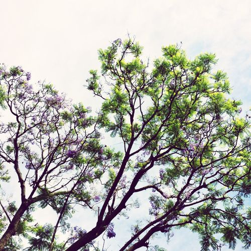 Getting Creative Nature_collection Jacaranda Tree Nature Growth Tree Environment Branch Spring Sky No People Outdoors Beauty In Nature