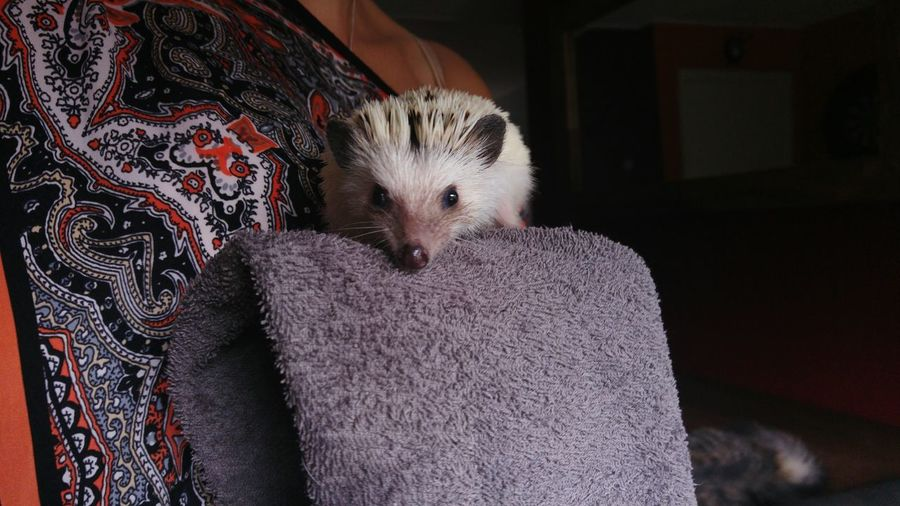 Portrait Of Hedgehog On Towel