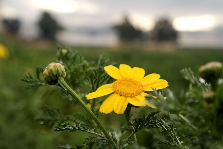 Nature Flowers Morning Yellow Flower Bokeh Lebanon Beirut