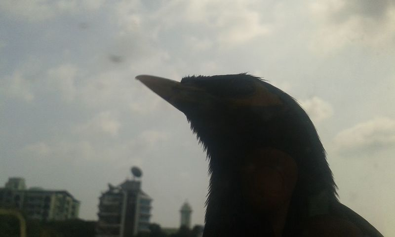 Common myna Common Mynah Myna Birds Animal Themes Architecture Building Exterior City Close-up Cloud - Sky Day Mammal Nature No People One Animal Outdoors Silhouette Sky Statue