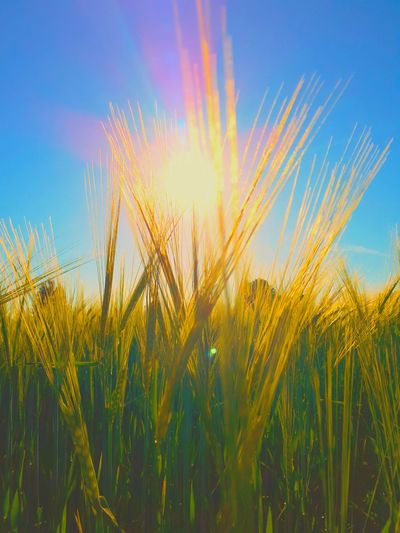 romantic nature Love Harmony Joy Pardise Holy Sun Phenomenon Newagephotography Art is Everywhere Flower Garden Photography Flower Cereal Plant Rural Scene Clear Sky Blue Agriculture Sunset Yellow Summer Field Shining Sunbeam