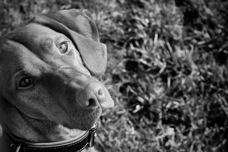 One Animal Mammal Domestic Animals Pets Domestic Canine Dog Vertebrate Close-up Focus On Foreground Looking Portrait Looking Away Animal Body Part Day No People Animal Nose Snout Dogs Blackandwhite Black And White Looking At Camera Shadow In The Eye Animal Eye Animal Themes