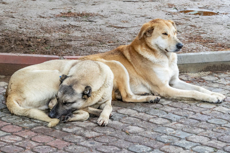 Two dogs resting on footpath