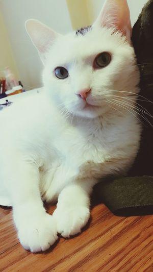 Beautiful Cats Shut Up And Kiss Me:* Kitty Cuddles Lovecats❤️ Whitecats Catloversworld Hi! Hello World Enjoying Life