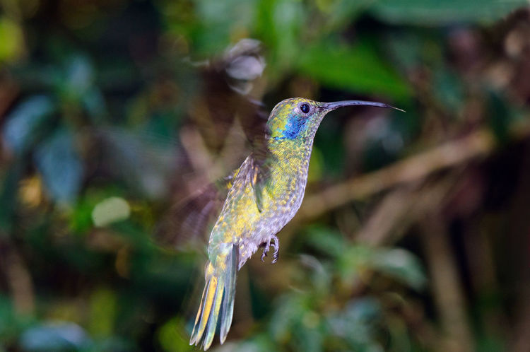 Beautiful green violet-ear (Colibri thalassinus) in flight. Colibri Thalassinus Costa Rica Fly Animal Themes Animal Wildlife Animals In The Wild Bird Brilliant Close-up Day Focus On Foreground Green Violet-ear Hummingbird Nature No People One Animal Outdoors