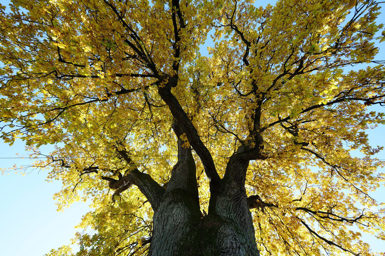 tree, plant, tree trunk, trunk, autumn, change, low angle view, growth, branch, nature, beauty in nature, no people, day, tranquility, plant part, leaf, outdoors, sky, yellow, full frame, bark, tree canopy, fall