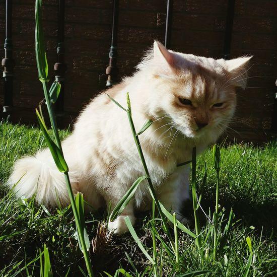 This doesn't smell good 😄😄😄 Cat Siberiancat Garden Smell Smellthegrass Grass Sniff Notsogood