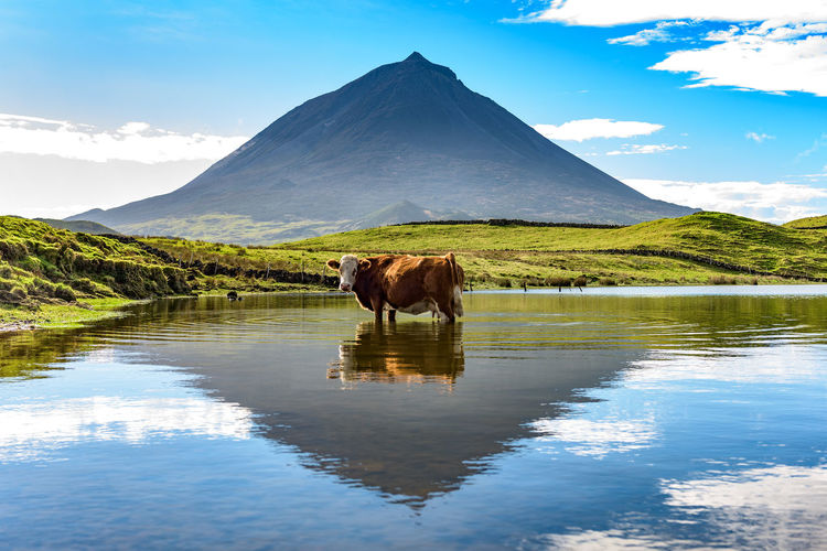 Cow Standing In Lake Against Mountain