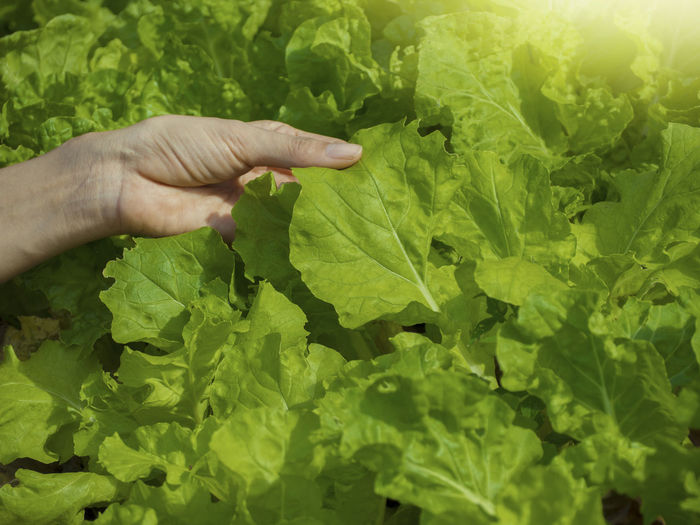 Growing vegetables And green leafy vegetables. It is a food for health lovers. Human Hand Hand Human Body Part Green Color Leaf Plant Part One Person Real People Holding Growth Plant Vegetable Unrecognizable Person Food And Drink Body Part Food Nature Close-up Finger Human Finger Outdoors Human Limb Gardening Leaves