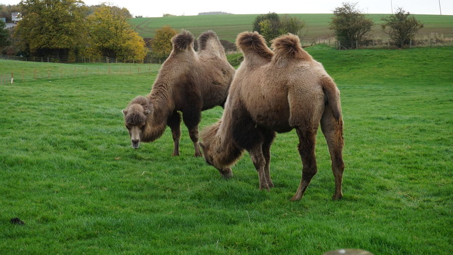 Bactrian camels grazing on field