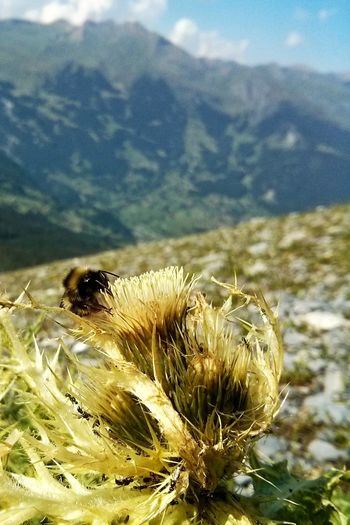 Bumblebee Bumblebee On Flower Aereal View Mountain Outdoors Close-up No People Beauty In Nature Nature Growth Tranquility PhonePhotography Eiger Eiger Trail