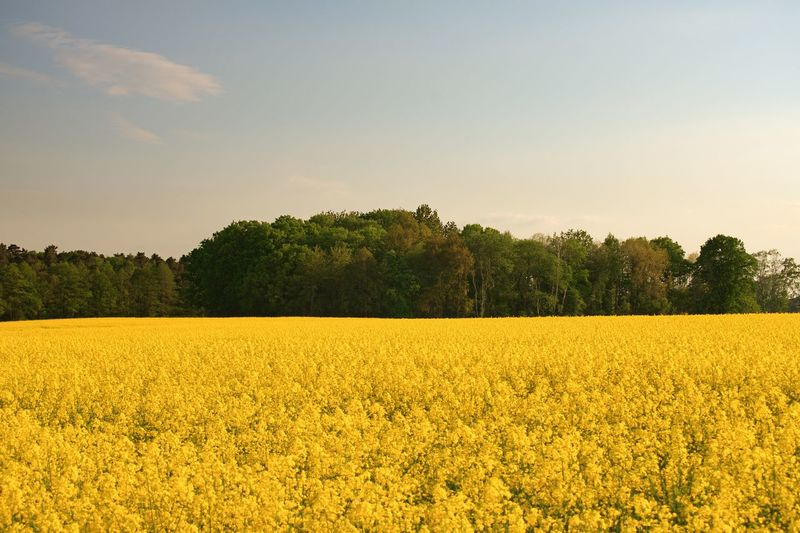 Contrast in colours Yellow Rapeseed Field Rapeseed EyeEm Selects Plant Beauty In Nature Yellow Field Growth Tranquil Scene Sky Tranquility Landscape Scenics - Nature Tree Land Environment Flower Agriculture Rural Scene Nature Flowering Plant No People Idyllic