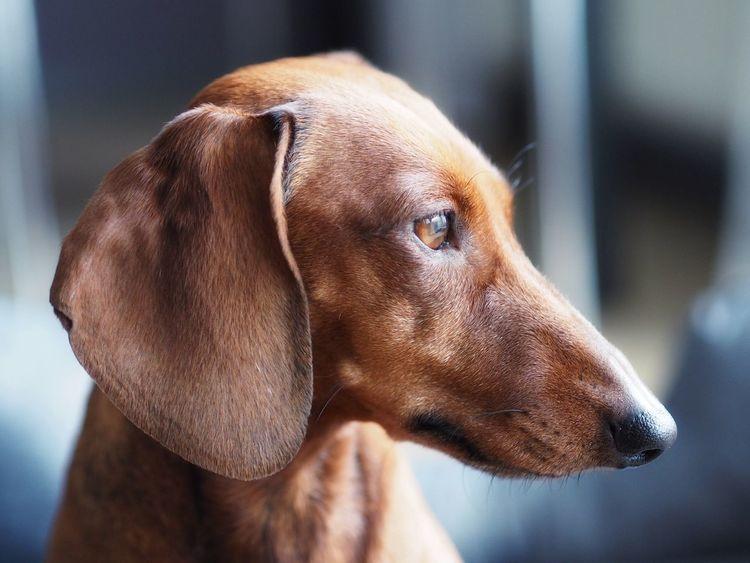 Luna Dachshund Pets Dackel Mammal Domestic Animals Focus On Foreground Animal Themes No People EyeEmNewHere