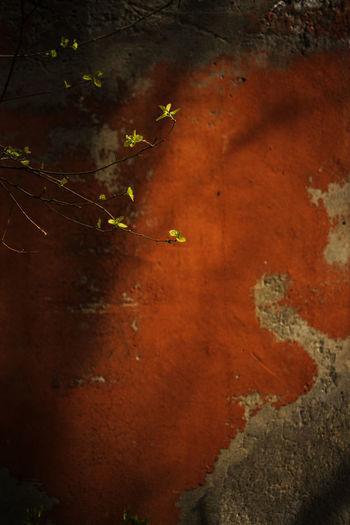 朝阳老桑树,新芽发墙边,儿童一相见,欢喜喂春蚕。 spring No People Day Plant Leaf Plant Part Outdoors Wall - Building Feature Spring Old Wall