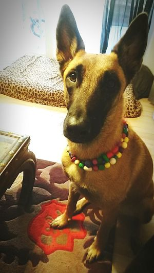Malinois Cutest Dog Ever DogLove Belgischer Schäferhund Hippielove Alles Andere Als Im Einsatz Bigdoglove