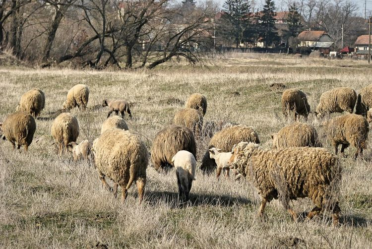Rural Rural Scenes Transylvania Agriculture Animal Themes Day Domestic Animals Field Flock Of Sheep Grass Growth Landscape Large Group Of Animals Livestock Mammal Nature No People Outdoors Rural Scene Sheep Tree