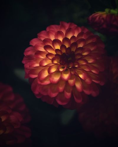 Vulnerability  Fragility Petal Flower Flower Head Inflorescence Flowering Plant Red No People Dahlia Pink Color Outdoors Nature Focus On Foreground Freshness Growth Plant Close-up Beauty In Nature