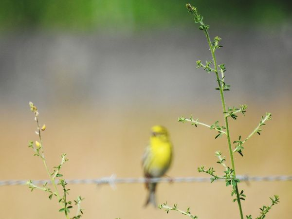 Desenfoque Selectivo Desenfoque Blur Animal Wildlife Animals In The Wild Bird Animal Nature One Animal Branch Plant Outdoors Wilderness Day Animal Themes Living Organism No People Tree Beauty In Nature Verdecillo Cantor Ramas Nature Photography NikonP900 Bird Photography