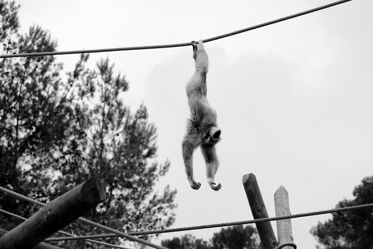 Low angle view of gibbon hanging upside down on rope against sky at zoo