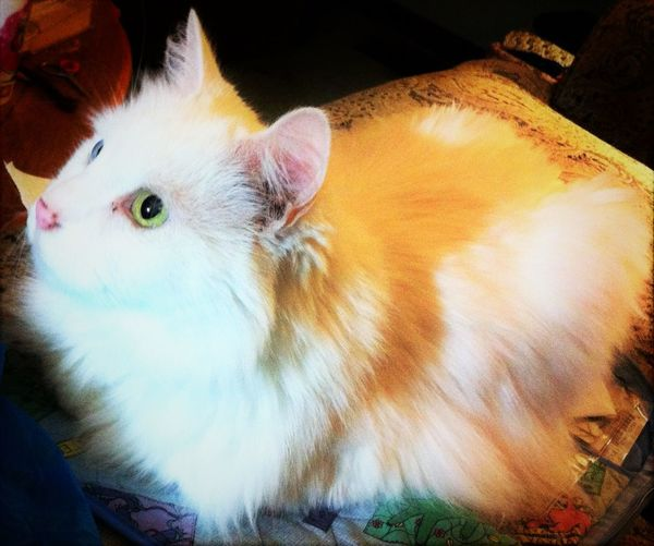 Animal Themes Cat Catsofinstagram Close-up Domestic Animals Domestic Cat Focus On Foreground Pets Thisweekoneyeem White Cats EyeemPhotos
