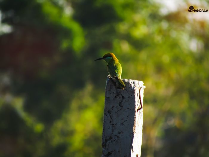 The green bee-eater (Merops orientalis), also known as little green bee-eater, is a near passerine bird in the bee-eater GreenBeeEater Bird Perching Tree Bird Of Prey Wooden Post Animal Themes Close-up My Best Photo