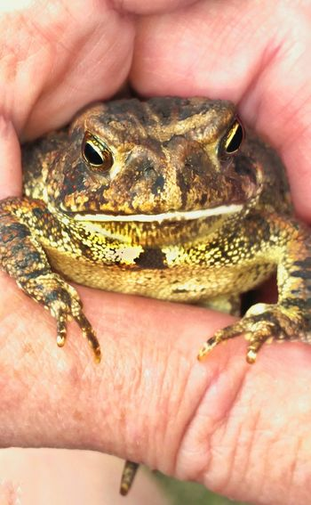 Human Hand Holding Human Finger Animal Wildlife Close-up Reptile Animal Themes One Animal People Animals In The Wild Real People Frog Toad Toad Frog Amphibian Wildlife Froggy Animal Frog Eyes Holding Animals Holding Frog Smile Funny Anımals Funny Face Amphibians