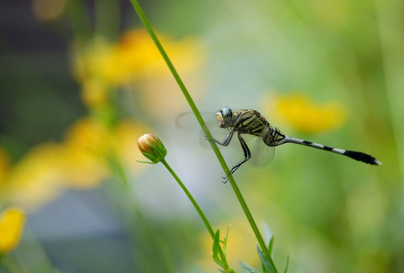 Animal Animal Themes Animal Wildlife Animals In The Wild Close-up Day Dragonfly Flower Stem Insect Living Organism Nature No People One Animal Outdoors Plant Springtime