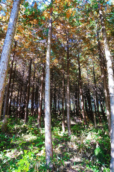2014 Autumn Forest Grass Growth Haiking Landscape Leaves Nagatoro Nature Outdoors Tree Tree Trunk WoodLand 山 森林 登山 紅葉 長瀞