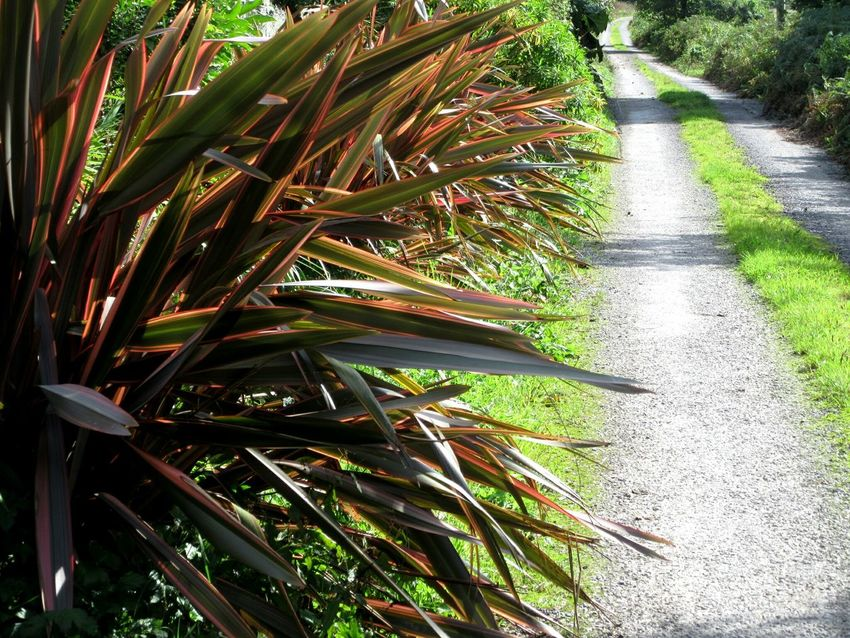 Exotic plants beside country road Growth Plant Close-up Green Color Nature Day Tranquility Green Growing Outdoors Botany Beauty In Nature Garden No People Country Road New Zealand Flax Windbreak Mizen Peninsula West Cork Wildatlanticway Ireland