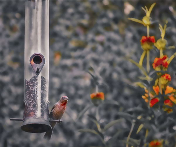 Bird Red Bird