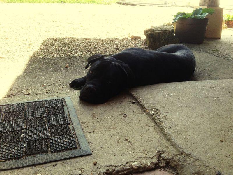 I Love My Dog Popular Photos Dog Cane Corso Italian Mastiff Canecorso  Guardian Dogs Of EyeEm Dog Sleeping