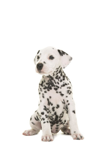 Cute dalmatian puppy dog sitting and looking to the side isolated on a white background Dalmatian Dalmatian Dog Dog Puppy Dalmatian Puppy Cute Puppy Looking Away One Animal Pets Animal Themes Canine Studio Shot Animal White Background Sitting Purebred Dog Spotted