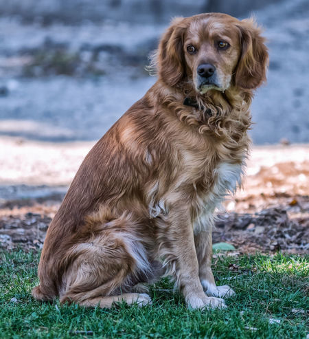 Animal Themes Brown Close-up Day Dog Dog Love DogLove Doglover Dogs Dogs Of EyeEm Dogslife Dogstagram Dog❤ Domestic Animals Emotions Golden Retriever Grass Looking At Camera Mammal Nature No People One Animal Outdoors Pets Portrait