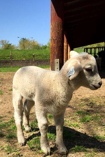 Lamb OpenEdit Farm