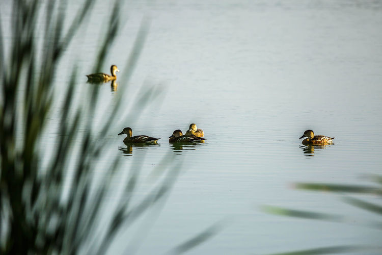 View of ducks floating on lake