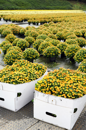 Boxes and pots with uncountable chrysanthemums across wide floor outdoors in cloudy day. Viewed from high angle. Autumn Orange Ornamental Plants Boxes Chrysanthemums Cultivation Floriculture Flower Flowers Growth Horticulture Houseplant Mums Nature Outdoors Plant Pots Potted Plant Yellow