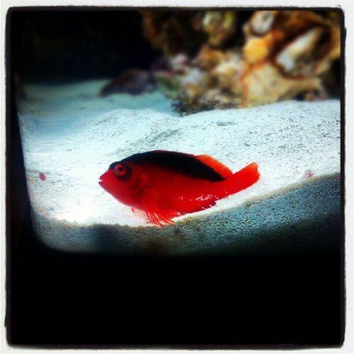 Hawkfish Red Aquarium