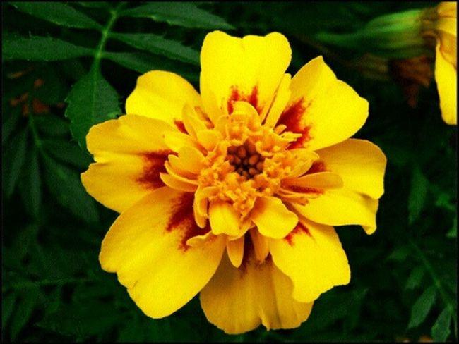 цветы оранжевый бархатцы Природа
