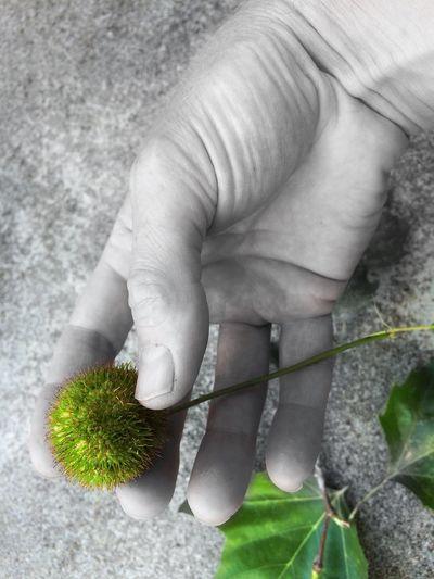 Green Fruit My Hand  Handfetish In My Hand Show Me Your Hand Bodyart Stilleben Grey Hand Greygreen Paradise Apple Platanenfrucht