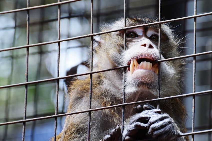 Animal Themes Prison Cage One Animal Mammal Trapped Monkey Prison Cell Prison Bars Heartache Hurted Sad Sad & LonelySad Eyes Sad Face Sad