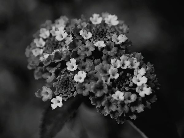 Flowers Flower Collection Floras Beauty In Nature Beautiful Flowers Flowers Black And White Blackandwhite Photography Black And White Collection  Depth Of Field Taking Photos Close Up Nature Flowers,Plants & Garden