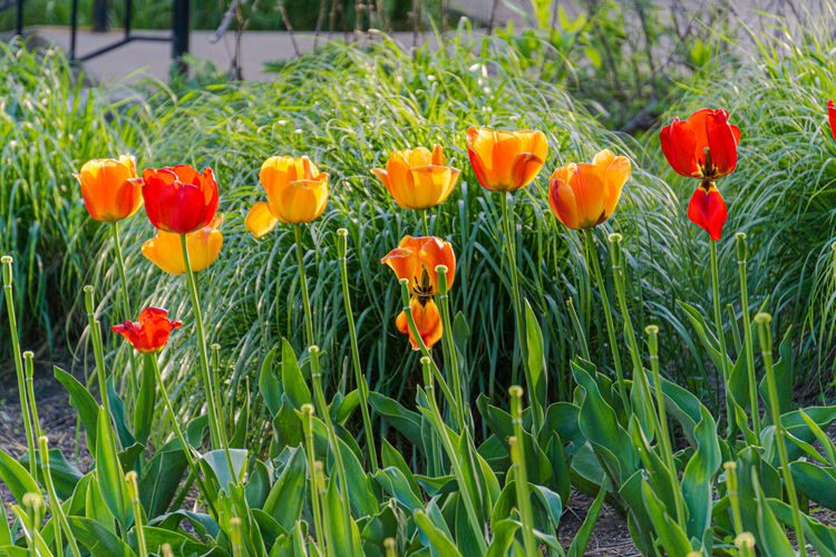 Close-up of red tulip flowers in field