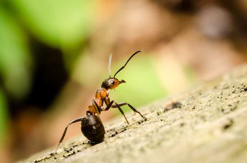 Macro photograph of an ant Macro Macro Photography Nature Insects  Ant Invertebrate Insect Animal Themes Animal Animal Wildlife One Animal Animals In The Wild Selective Focus Close-up Animal Body Part Day Solid Animal Antenna Outdoors Zoology Rock - Object Rock Animal Eye Bokeh Forest
